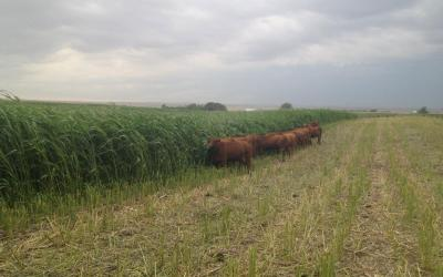 A group of brown cattle foraging in a green field.