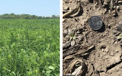 Left: Marestail growing in a field. Right: Young marestail plants emerging from soil. A dime is placed near the plant to demonstrate its scale.