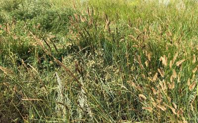 A patch of western wheatgrass with ergot fungus growing throughout.