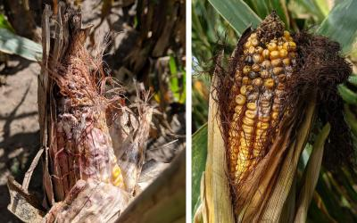 Gibberella ear rot and Fusarium spp. symptoms on two corn ears.