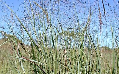 A patch of switchgrass growing at the edge of a field.