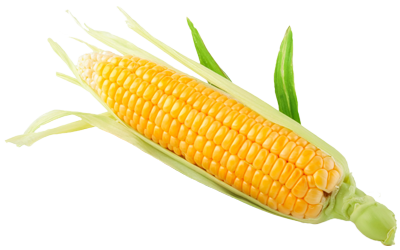 A yellow ear of sweet corn.