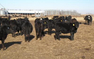 A group of black heifer calves in a feedlot.