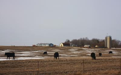 Six black cattle grazing a field with patches of snow.