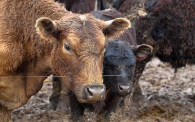 A brown cow and a black calf standing in a muddy, water-soaked feedlot.