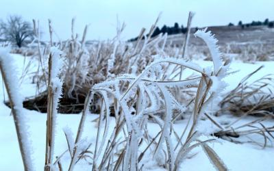 Frost-covered grass in a winter pasture.