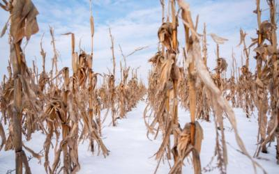 A field of standing corn covered in snow.
