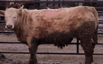 A steer standing in a feedlot. Its middle back has a visible bald spot due to lice.