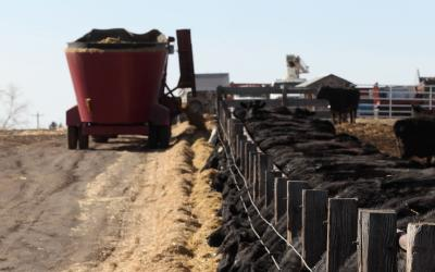 Black angus cattle feeding in a feedlot.