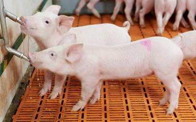 Two young swine drinking water in a wean-to-finish facility.