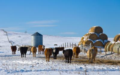 A small herd of cattle grazing in snow-covered, spring pasture.