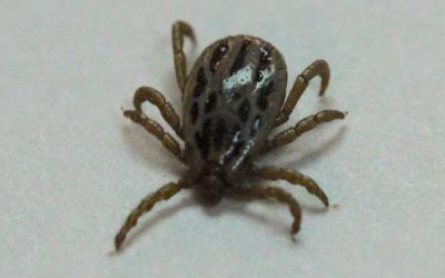 A teardrop shaped tan tick with eight legs and brown markings on a white background.