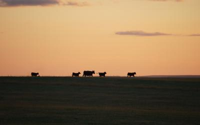 A small group of cattle grazing a vast, open range as the sun sets in the background.