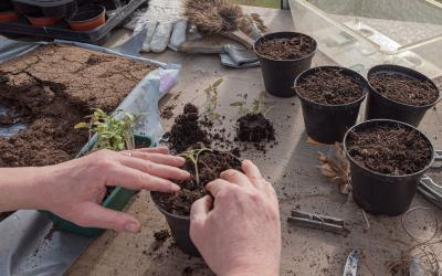 A pair of hands transplanting a tomato seedling in a black, plastic pot.