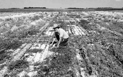 A man inspecting a field with salty soil.