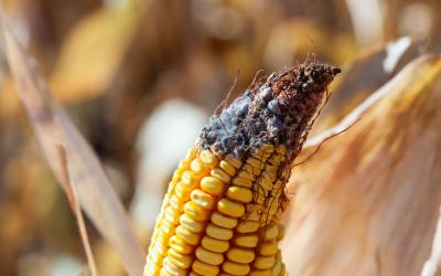 An ear of corn in a field with visible white mold on the tip of the ear.