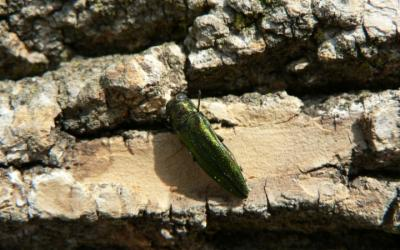 Adult female emerald ash borer