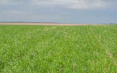Spring wheat growing in a no-till field. Courtesy: USDA NRCS South Dakota, (CC BY-SA 2.0)