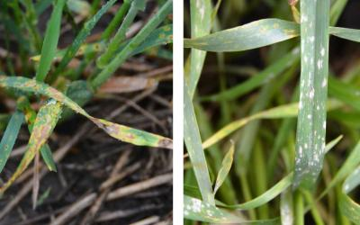 Wheat plants exhibiting symptoms of tan spot and powdery mildew.