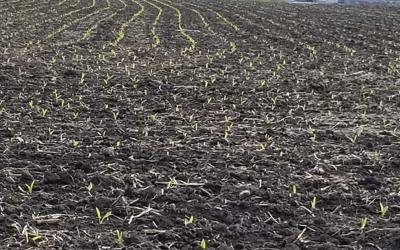 Young corn plants emerging in a field during early spring.