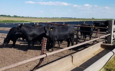 A small group of black angus cattle in a feedlot.