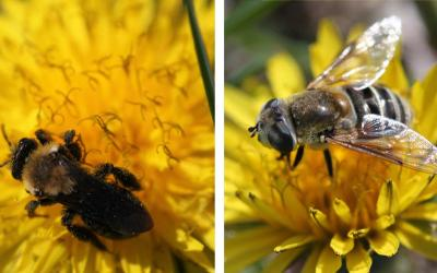 Two dandelions side by side. The left has a bee foraging on it. The right has a hover fly foraging on it..