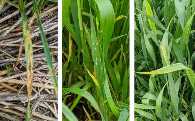 Three wheat plants exhibiting disease symptoms. From left: Tan spot, powdery mildew, and Barley yellow dwarf.