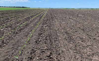 A field divided into two planting areas. The left area has young corn plants emerging from the soil. The right has no visible corn emergence yet.