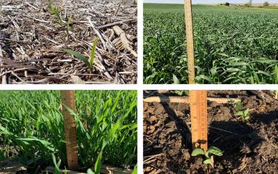 Four photos depicting field progress for winter wheat, oats, corn, and soybean as of May 29, 2020.