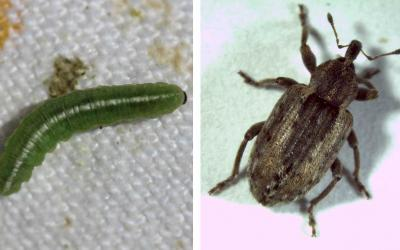 Two photos of alfalfa weevils during different lifecycle stages. The left is the larva stage and has a longate, green larvae that looks like a caterpillar with white stripe running down the body and brown head. The right is the adult stage and pictures a brown beetle with long snout.