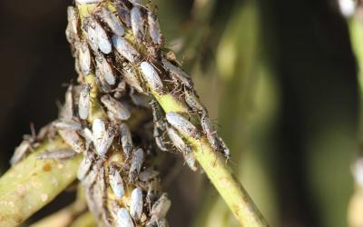 Numerous grayish-brown bugs gathering on a green stem.