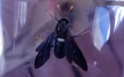 Black insect with a white spot on the back and orange tipped legs and antennae.