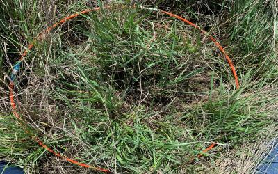 An orange plastic hoop placed around a portion of tall grass on a range to provide a measurement.