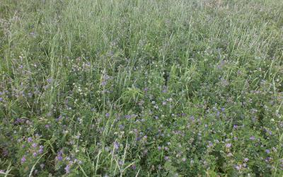 A field of flowering alfalfa.