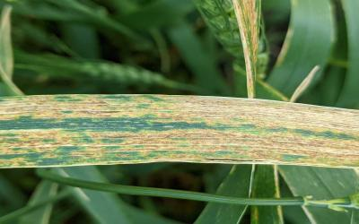 Yellow and brown streaks on a winter wheat leaf indicative of bacterial leaf streak symptoms.