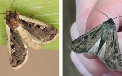 Left: Brown moth with light markings present on a green leaf. Right: Brown moth with light markings present.