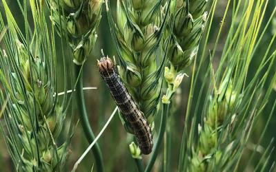 Dark colored caterpillar feeding on wheat head.