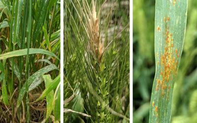 Diseases on three different wheat plants. From the left: powdery mildew, fusarium head blight, and leaf rust.