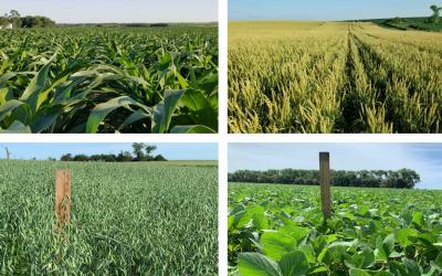 Four photos depicting field progress for corn, winter wheat, oats and soybean as of July 2, 2020.
