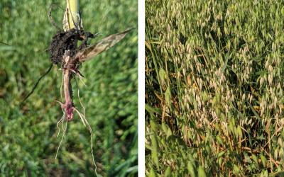 Two photos of oat plants exhibiting fusarium root and crown rot. Left: An oat tiller with pinkish color on the crown and first node indicative of Fusarium root and crown rot. Right: Green oat plant with yellow, dry markings throughout indicative of Fusarium root and crown rot.