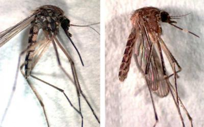 Mosquito with darker coloration and mosquito with white band on proboscis.