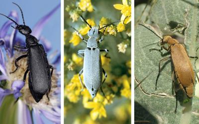 Three photos of blister beetles. The first is a black colored blister beetle on a purple flower. The second is a gray colored blister beetle on yellow flowers. The third is an orange-brown colored blister beetle feeding on a green leaf.