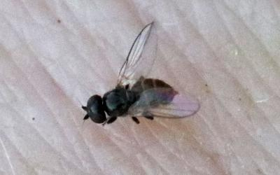 Small black fly on pale skin.