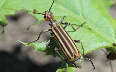 Orange beetle with black stripes and a red head on a green leaf.