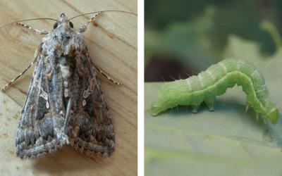 ALT TEXT: Left: Brown moth with light markings on the wings. Right: Green caterpillar with a white line on the side of its body on a green leaf.