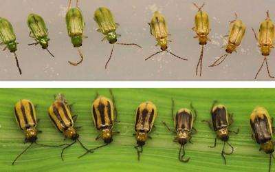 Eight green beetles in a row in the top half of the image and a row of seven yellow beetles with varying black stripes in the bottom half of the image.