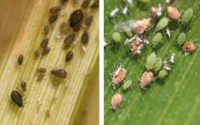 Left: Bird cherry oat aphids. Right: English grain aphids.