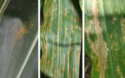 Three corn diseases. From left: Southern Rust, Bacterial Leaf Streak, and Eyespot.