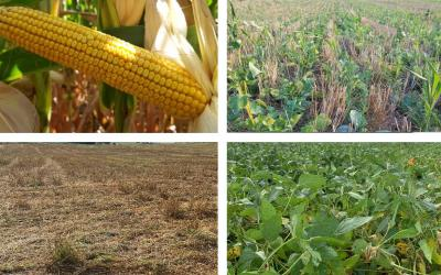 Four photos depicting field progress for corn, winter wheat, oats and soybean as of August 31, 2020.
