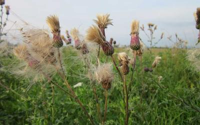 Flowering Canada thistle distributing seed in a pasture.